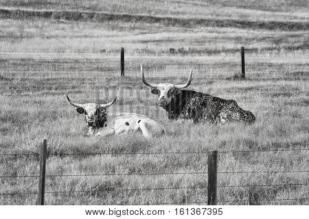 Black And White Picture Of Two Texas Longhorns Lying Down.