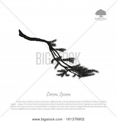 Black silhouette of fir tree branches on a white background. Drawing of pine. Vector illustration