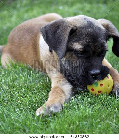 Cane Corso Whelp Puppy play with a ball On Green Grass Outdoor