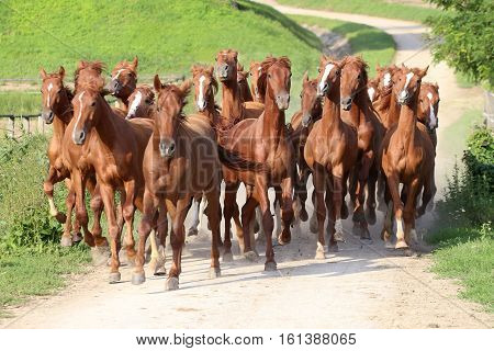 Herd of horses running trough the farm. Group of beautiful youngsters galloping together at animal farm rural scene summertime