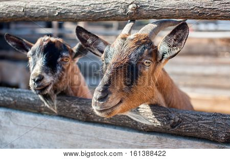 two young small goatling peeping from behind a wooden fence in the aviary