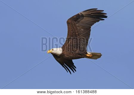 Adult Bald Eagle In Flight - Gainesville, Florida