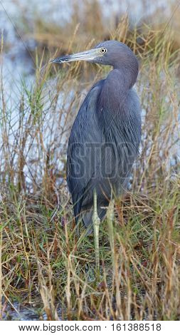 Little Blue Heron - Merritt Island Wildlife Refuge, Florida