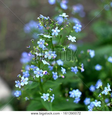 Forget Me Not, Small Flowers In The Garden