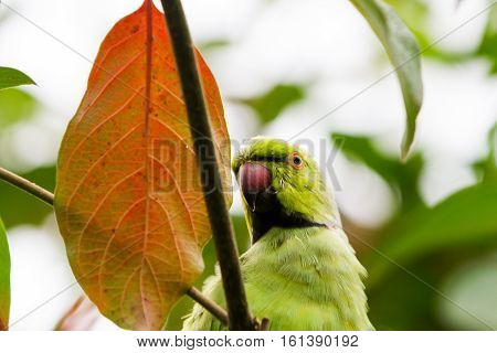 Red beak parrot hidding in the trees' leaves