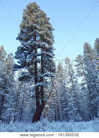 A split ponderosa pine covered in snow in the morning light in the forest near Camp Sherman in Central Oregon on a winter day.