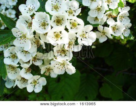 White Flowers Of The Hawthorne Bush