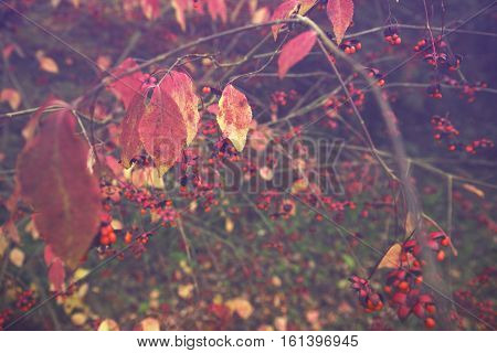 Red Leaves and Seeds of Spindle Tree