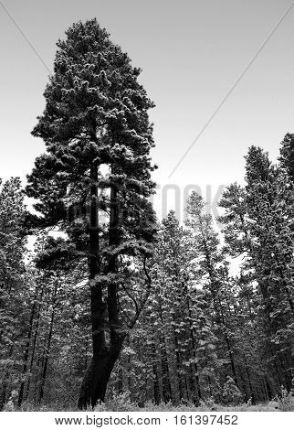 A ponderosa pine split when it was young covered in fresh snow in the forest near Camp Sherman in Central Oregon on a winter day.