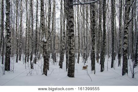 Winter forest landscape with birch and husky dog.