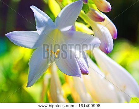 photograph of white hosta flowers in a grrden