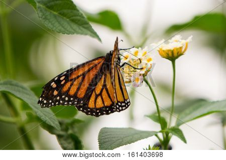 Monarchs butterfly with distinct orange black and white wings on pink and yellow flower