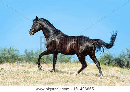 Beautiful black horse galloping on a background of blue sky. Black stallion on the move, running Gallop.
