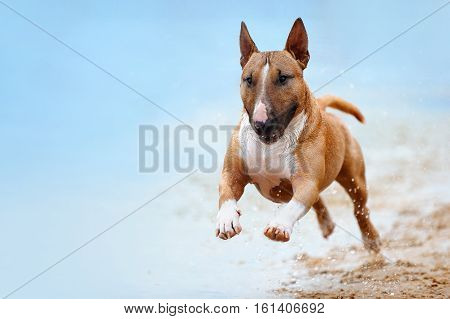 Beautiful red and white dog breed mini bull terrier running along the beach against the backdrop of water and looking at the camera close-up