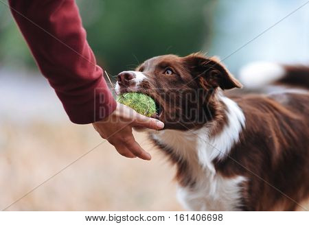 Brown border collie puppy brought the ball hostess and lays down his hand. Dog playing in the game with a man close up