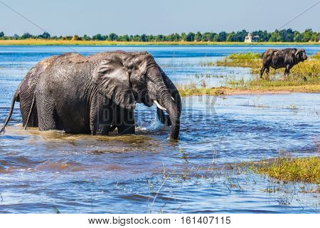Chobe National Park in Botswana. Watering in the Okavango Delta. Two African elephants crossing river in shallow water. The concept of active and exotic tourism