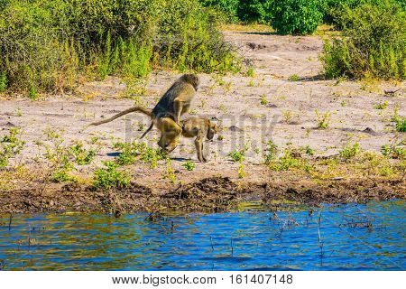 Two monkeys baboon at the watering. Botswana, Chobe National Park on the Zambezi River. The concept of extreme and exotic tourism