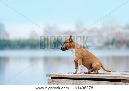 Beautiful red and white dog breed mini bull terrier sitting on a wooden pier on the river and on the background of the city. portrait of a dog, which looks into the distance