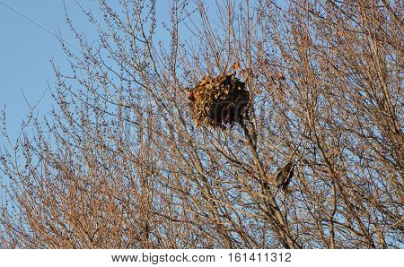 Eastern grey squirrel nest high in the trees in winter with two squirrels perched in the branches beneath it. Sciurus carolinensis or the eastern gray squirrel or grey squirrel can be grey or black in this image you see both colors