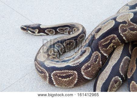 Ball python moving slowly on the pavement