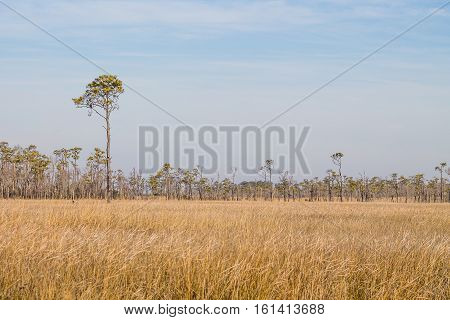 Field of brown swamp grass and forest in the winter season at Mackay Island National Wildlife Refuge located on Knotts Island in North Carolina.