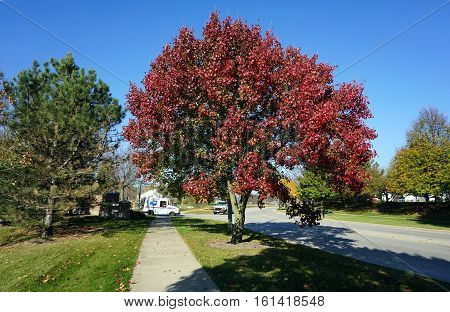 JOLIET, ILLINOIS / UNITED STATES - NOVEMBER 16, 2016: a Callery pear tree (Pyrus calleryana), also called the Bradford flowering pear, displays brilliant autumn foliage in the Wesmere Country Club subdivision of Joliet.