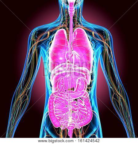 3d illustration human body organs.human body anatomy.