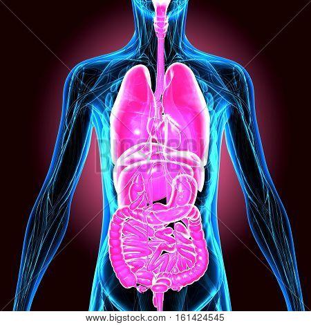 3d illustration Human Anatomy.humab body organs system