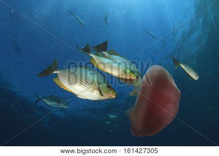 Fish eating Jellyfish
