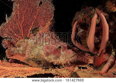 Scorpionfish fish on coral