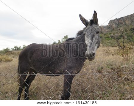 Mule Looking At Camera
