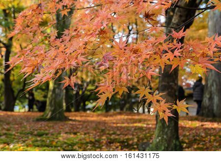 Maple autumn color leaves at Tofukuji temple in Kyoto Japan