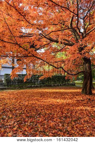 Red maple autumn color leaves at Tofukuji temple in Kyoto Japan
