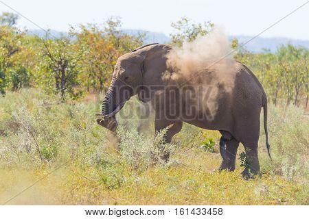 One African Elephant Walking In The Distance And Blowing Dust. Wildlife Safari In The Kruger Nationa