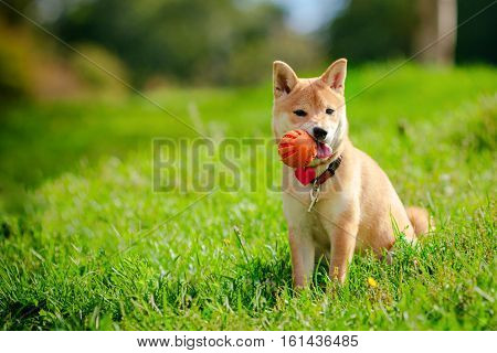 A young shiba inu playing with a ball in green garden.