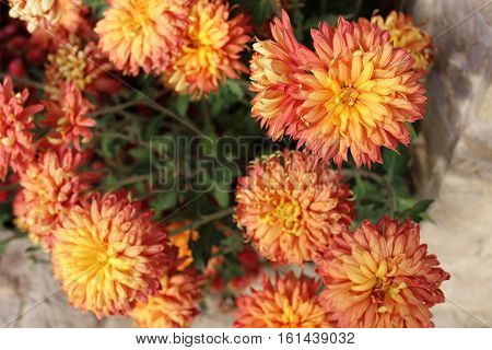 orange chrysanthemum close up macro photography and a concrete wall and green leaves