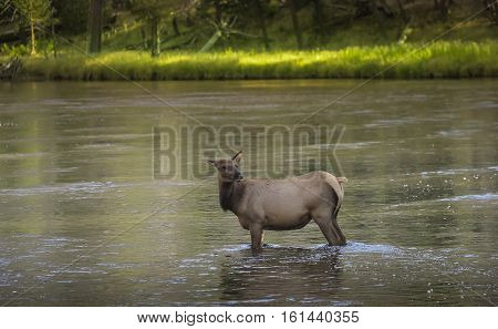 Wild Female Elk