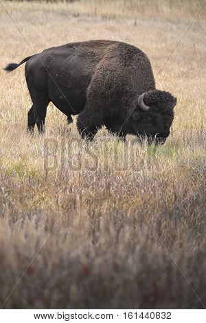 Wild Bison in Yellowstone National Park USA