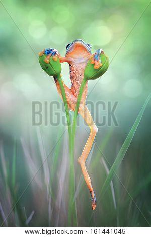 Javan tree frog, art, tree frog, beautiful