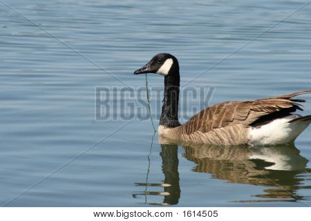 Floating Goose