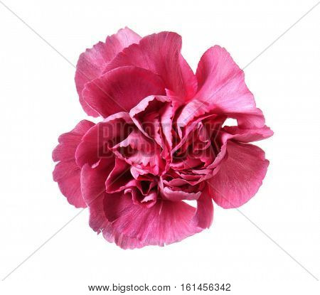 Beautiful purple carnation flower isolated on white