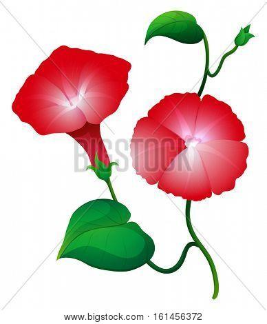 Red morning glory on the vine illustration
