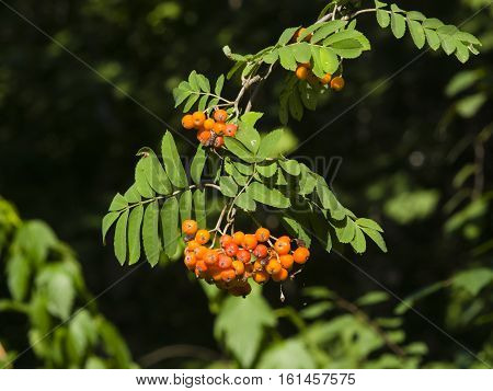 Mountain ash Rowan Sorbus tree with ripe berries close-up selective focus shallow DOF