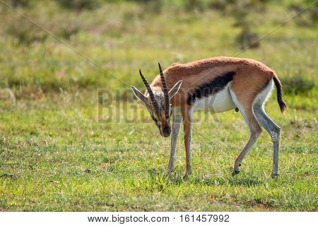 Wild Thompson's gazelle or Eudorcas thomsonii scratching its head