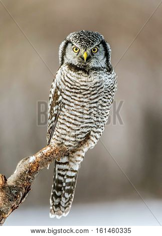 A view of Northern hawk-owl perching on a tree. Dec 2016