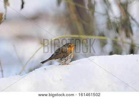 European Robin (Erithacus rubecula) wintering in city park. Moscow Russia