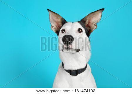 Funny Andalusian ratonero dog on blue background
