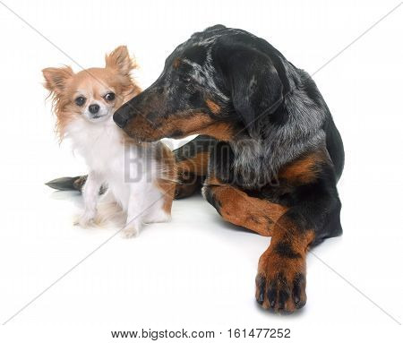 young beauceron and chihuahua in front of white background