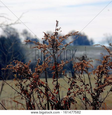 December winter day in New England showing Dried brown flowers and grass in the foreground and a field in the background