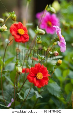 Flowers Dahlia. Beautiful Colorful Flowers Dahlia Grow In Flower Garden Summer.
